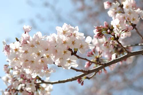 branche avec fleurs de cerisier